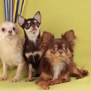 Чихуахуа - орхидея в мире собак group on My World