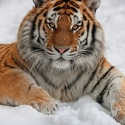 Тигр Тигрович on My World.